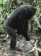 041006_chimps